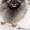 продаются щенки Кеесхонда(Вольфшпиц) с отличной родословной #1363728