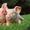 свинина охлажденная в полутушах #1614679
