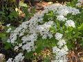 Многолетние цветы открытого грунта.