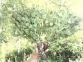 продам веники березовые банные