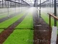 Глубокский опытный лесхоз реализует сеянцы сосны обыкновенной
