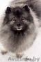 продаются щенки Кеесхонда(Вольфшпиц) с отличной родословной